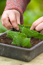 Taking leaf cuttings from streptocarpus using the Midrib Cuttings method.<br /> Planting sections into tray of compost