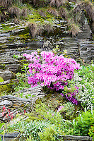 Ticino, Southern Switzerland. Garden with magenta rhododendron bushes against a background of a rocky wall.