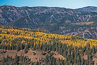 Autumn is causing the Tamarack tree needles turn yellow along the flat tops of the ridges near the Grande Ronde River in the Umatilla National Forest in the Blue Mountains of northeastern Oregon, USA.