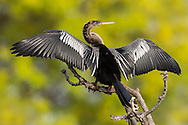 The anhinga is a large, cormorant-like bird, common to southern swamps. The anhinga's feathers are not waterproofed like those of ducks, and can get waterlogged easily. Because of this, anhingas will perch for long periods of time on a tree or snag with wings outstretched to dry out its feathers.