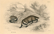 Common or Eurasian Badger (Meles meles), mammal with popular English name of Brock. From 'British Quadrupeds', W MacGillivray, (Edinburgh, 1828), one of the volumes in William Jardine's Naturalist's Library series. Hand-coloured engraving.