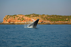 A female humpback whale breaches in Camden Sound on the Kimberley coast with the iconic Kimberley tideline visible behind her.
