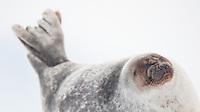 Ringsel hunn strekker seg på isen i Tempelfjorden, Spitsbergen, Svalbard. Mars.