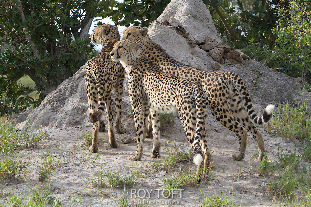 Three African cheetah's standing alert by the base of a termite mound, Botswana, Africa