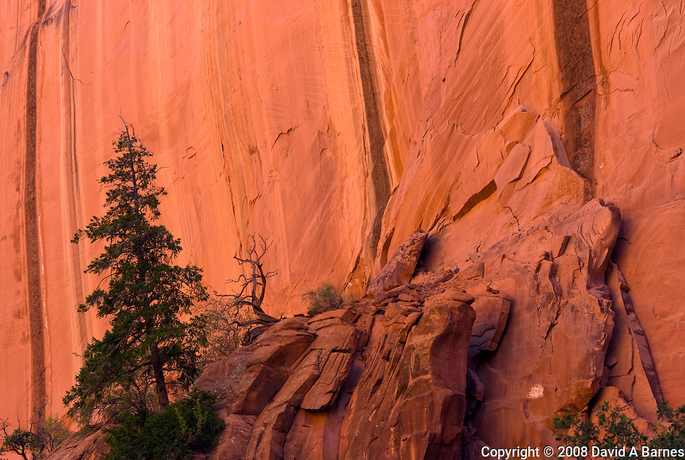 Pine tree, sandstone cliff, Capitol Reef National Park, Utah, USA