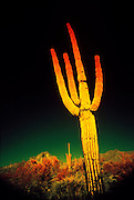 Color Infrared Photo of Saguaro Cactus, Arizona