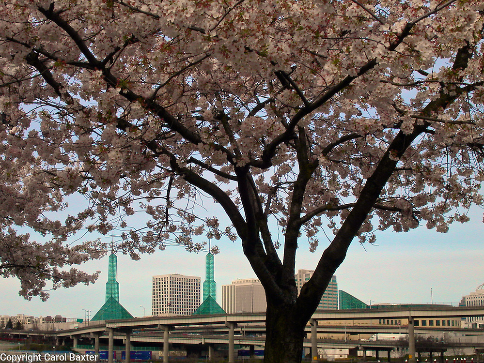 Flowering Japanese blossoms frame the Portland Convention Center, Oregon, USA