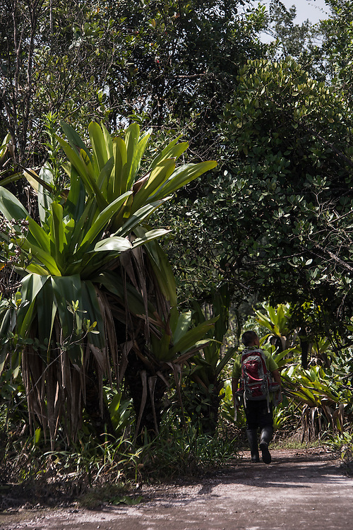 Giant Tank Bromeliad (Brocchinia micrantha)<br /> Kaieteur Falls<br /> GUYANA<br /> South America<br /> Kaieteur Falls is the world's widest single drop waterfall, located on the Potaro River in the Kaieteur National Park, in Essequibo, Guyana,<br /> Height: 741′<br /> Elevation: 1,581′<br /> Number of drops: 1<br /> Longest drop: 741′<br /> Watercourse: Potaro River