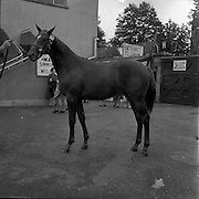 07/08/1962 <br /> 08/07/1962 <br /> 07 August 1962 <br /> Dublin Horse show at the RDS, Ballsbridge, Dublin, Tuesday. Image shows Mr Adam J. Kelly's (Downpatrick, Co. Down), Colt that won the Perpetual Challenge Cup for best Thoroughbred Yearling Gelding.