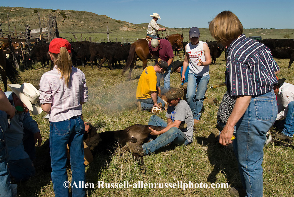 Branding, Cavall Ranch, friends and family help vaccinate, castrate and brand calves, east of Miles City, Montana