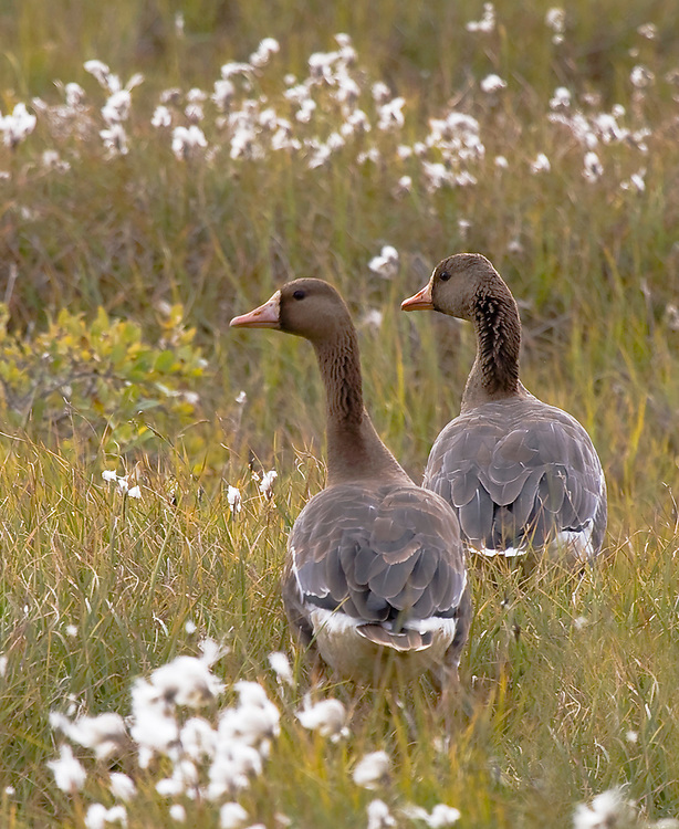 Alaska. Greater White-fronted Geese (Anser Albifrons) in cottongrass, North Slope wetland, Deadhorse.
