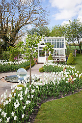 Tulips in the Greenhouse Borders at Manor Farm House in spring. Tulipa 'White Triumphator'. Glass ball water feature