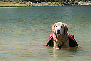 Dog (golden retriever) with backpacks standing in alpine lake in the John Muir Wilderness, Inyo National Forest, California