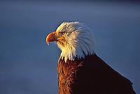 Bald Eagle (Haliaeetus leucocephalus) at sunrise near Homer, Alsaka.