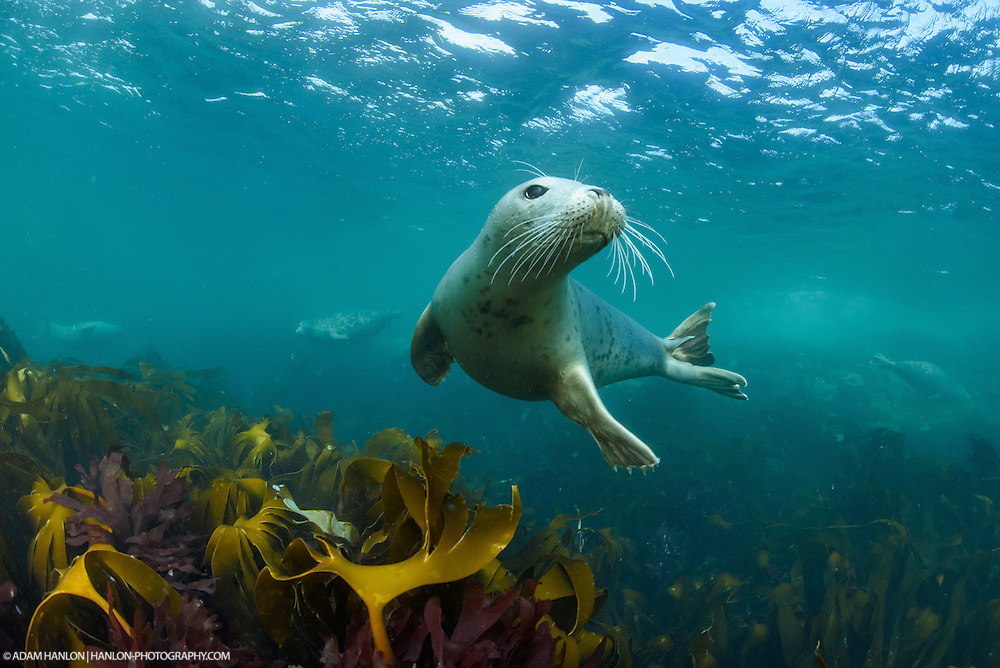 A gray seal (Halichoerus grypus) strikes a pose before moving is for a game with the photpgrapher.