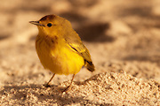 Galapagos race of the yellow warbler (Dendroica petechia) on Bachus Beach, Santa Cruz Island, Galapagos Islands.