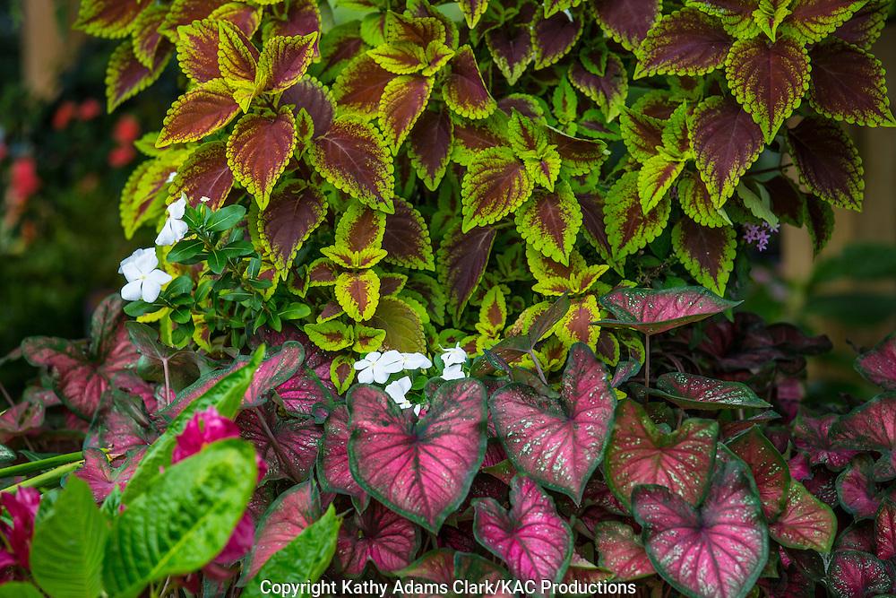 Garden, coleus, calladium, impatients, Houston, late summer, Texas.