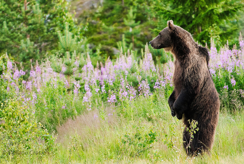 FINLAND, Kuhmo.Brown bear (Ursus arctos) and fireweed