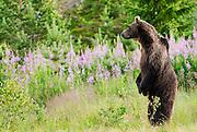FINLAND, Kuhmo.Brown bear (Ursus arctos) and fireweed