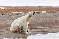 Polar bear (Ursus maritimus) sniffing the air on spit on Barter Island near Kaktovik in Arctic National Wildlife Refuge in the Far North of Alaska. Autumn. Afternoon.