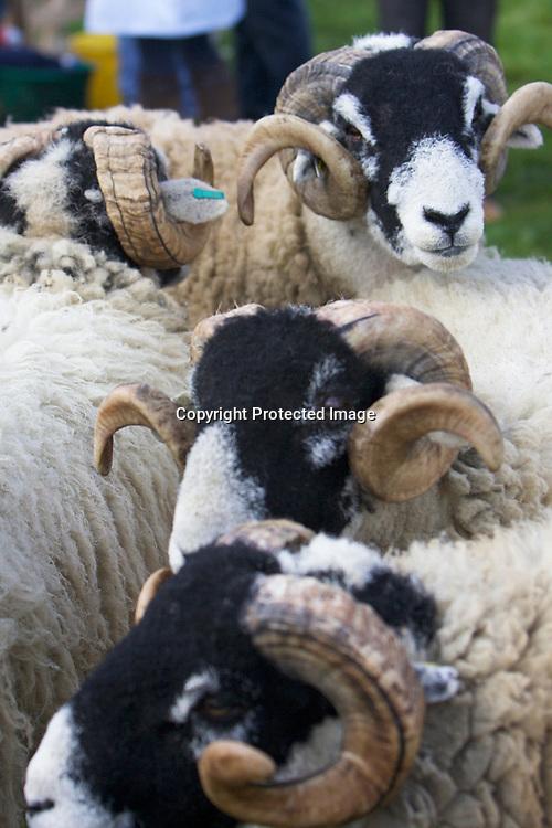 Livestock at Otley Show 2017
