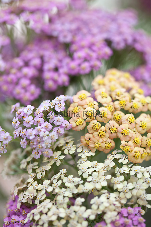 Achillea millefolium 'Summer Pastels' - common yarrow