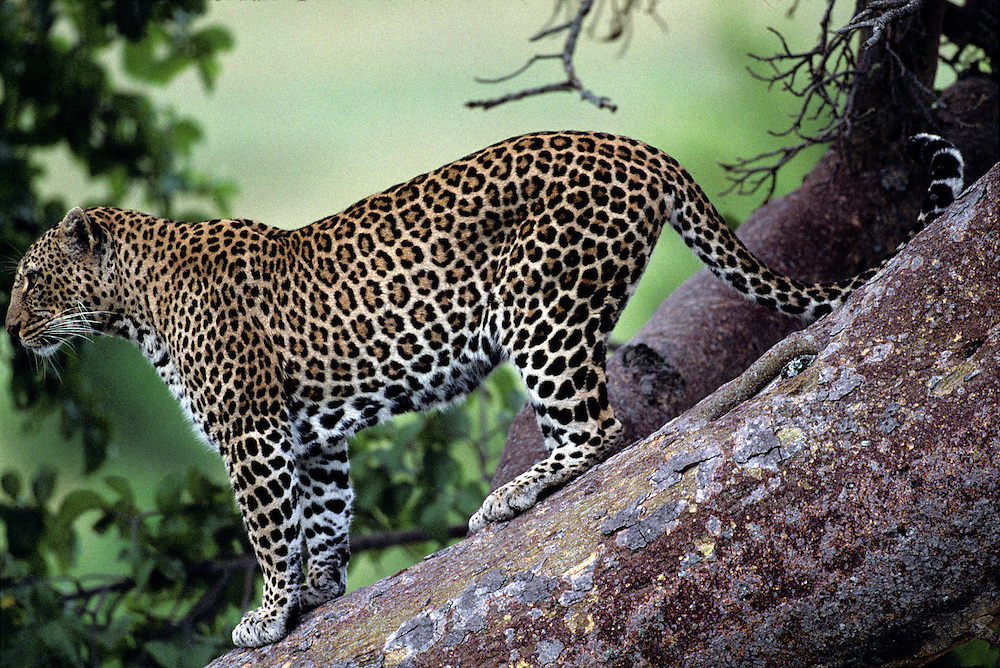 Africa, Kenya, Masai Mara Game Reserve, Leopard (Panthera pardus) standing on tree trunk along Telek River