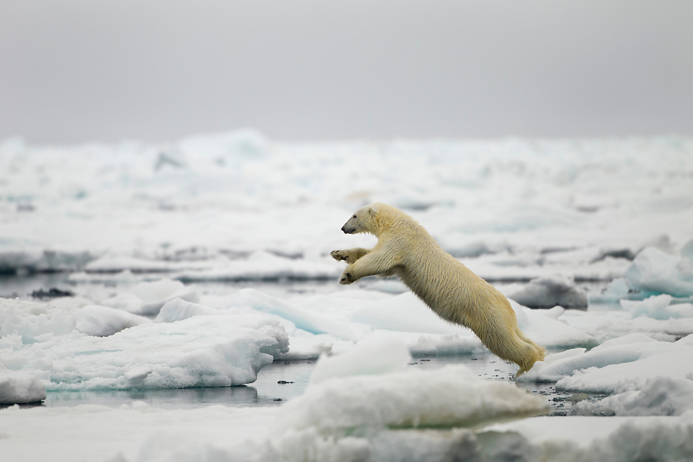 Norway, Svalbard, Nordaustlandet, Polar Bear (Ursus maritimus) leaping across melting sea ice floe near Phippsøya (Phipps Island) on summer morning