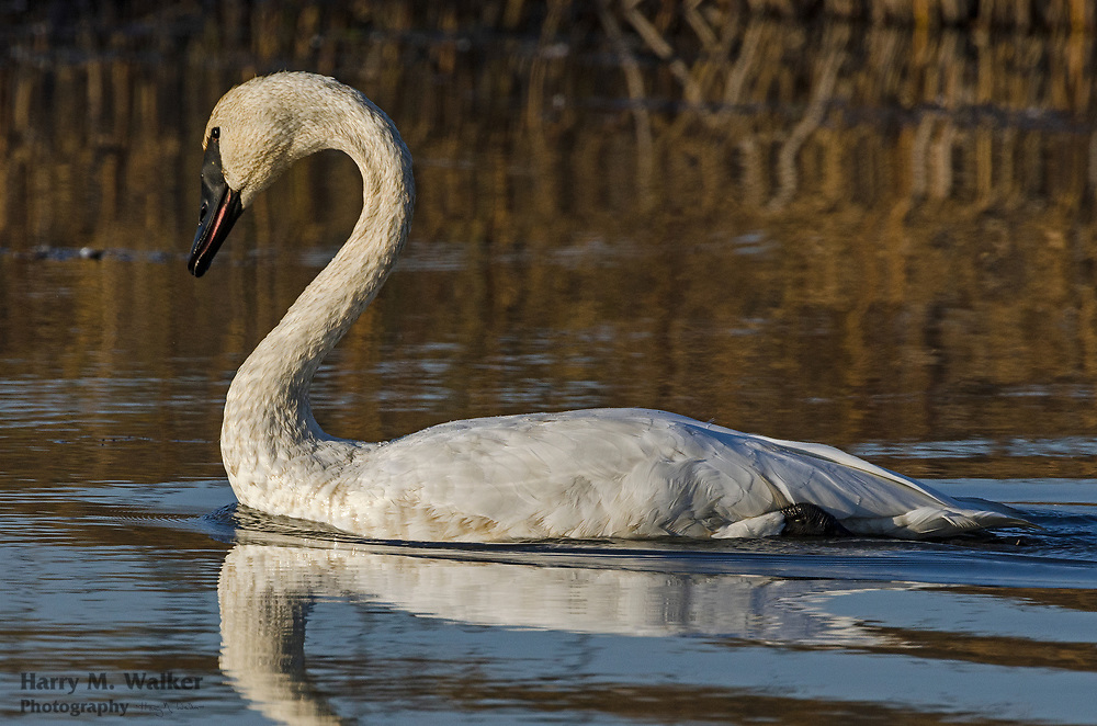 Trumpeter swan Cygnus buccinator); Potter Marsh Bird Sanctuary; part of Anchorage Coastal Wildlife Refuge; Alaska