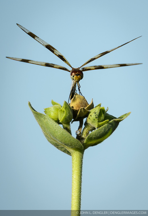 A dragonfly perches on a sunflower as it oversees its territory along the 1.5-mile Gayfeather Trail in the Regal Prairie Natural Area located in Prairie State Park. Dragonflies hunt mosquitoes and other small flying insects. Prairie State Park, located near Liberal, Mo. is Missouri&rsquo;s largest remaining tallgrass prairie. The park&rsquo;s nearly 4,000 acres is home to bison and elk. Panoramic hillsides of wildflowers such as prairie blazing star, sunflowers, and Indian paintbrush provide a canvas of color. In the fall, prairie grass such as big bluestem and Indian grass may tower as high as 8 feet tall. <br /> <br /> Tallgrass prairie once covered more than 13 million acres of Missouri&rsquo;s landscape. Today, less than one percent remains. The prairie at Prairie State Park remains because the rocky land was too difficult to plow, which protected it from being farmed. Hiking, animal viewing, camping, birdwatching, and photography are some of the activities that the park affords. <br /> <br /> The Regal Prairie Natural Area is a 240-acre state natural area within the park that is especially noted for its wildflower display. The Nature Conservancy and the Missouri Prairie Foundation provided funding for the purchase of much of the park&rsquo;s acreage. The area was dedicated as a state park in 1982.