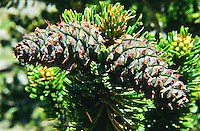 """Bristlecone Pine (Pinus aristata).  This seed cone or female cone are ovid and dark in color.  The tip of each scale bears an incurved """"bristle"""" hence the name bristlecone.  Cones and needles are often tipped by dropes of resin.  A characteristic that disinguishes the Colorado bristlecone from the bristlecone   found in Sierra Nevada and the Great Basin Area."""