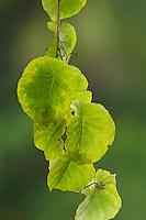 Leaves of a liana.