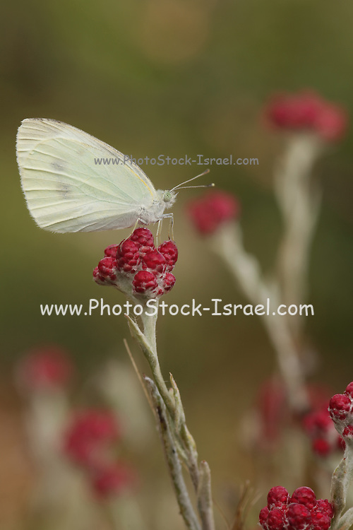 The Large White or Cabbage White (Pieris brassicae) Butterfly on Red Everlasting (Helichrysum sanguineum) Photographed in Israel in May