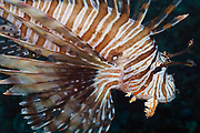 Volitans or Black lionfish (Pterois Volitans) or Red Firefish - Agincourt reef, Great Barrier Reef, Queensland, Australia