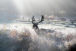 © Licensed to London News Pictures. 02/11/2016. Richmond, UK . Deer push there way through the frosty grasses. Deer in the frost in Richmond Park London today 2nd November 2016. much of the country experienced a frost overnight. Photo credit : Stephen Simpson/LNP