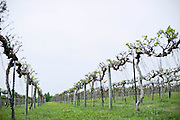 Duplin Winery vineyard, where the vines are just leafing out.