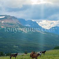 horses in meadow blackfeet reservation glacier national park