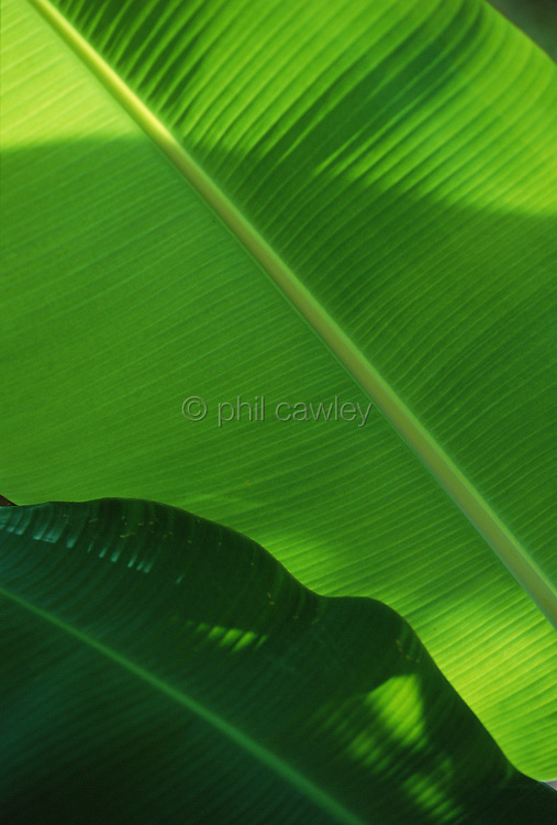 Banana leaf with shadow over image creating an abstract shape