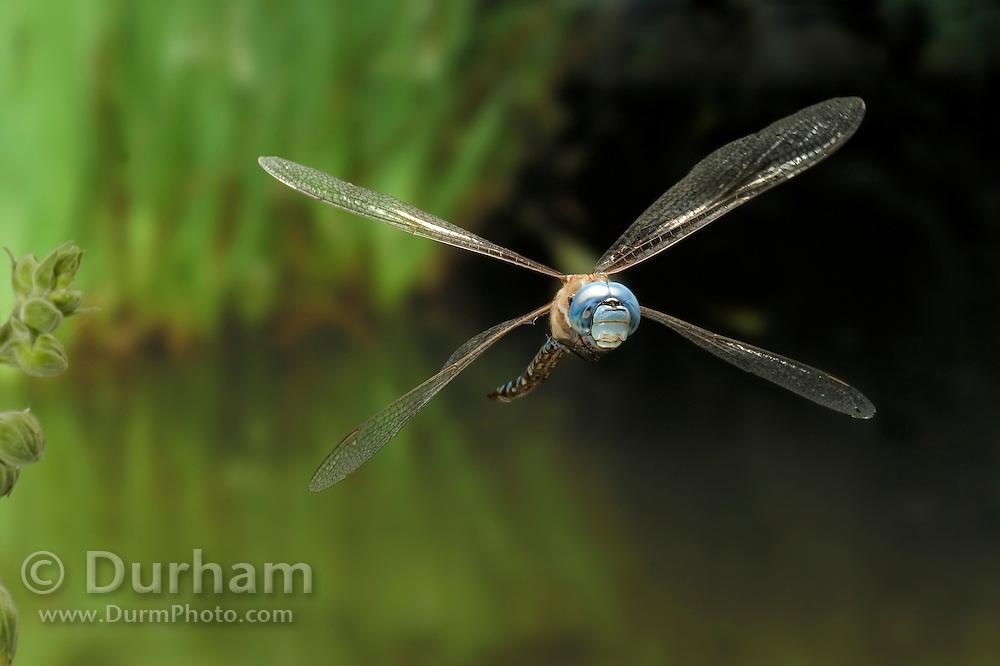 A blue-eyed darner (Rhionaeschna multicolor)in flight in the coastal mountains of Oregon.