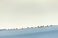 Red Deer (Cervus elaphus) line of stags on upland moor  in winter, Scotland