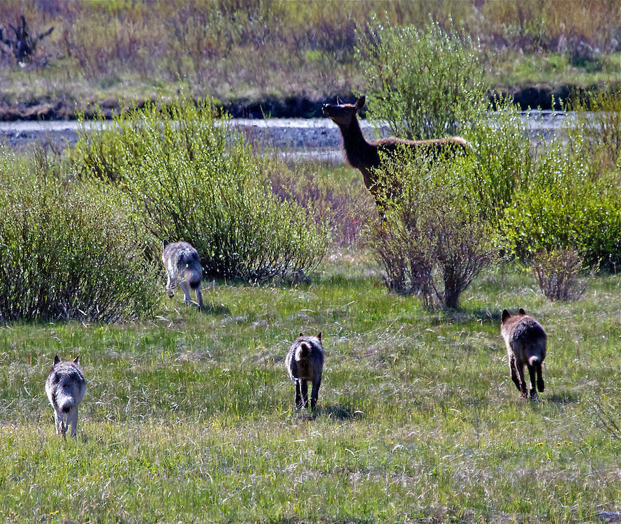 Wolf pack on the hunt, Yellowstone National Park