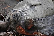 Sleeping seal on Washington Coast