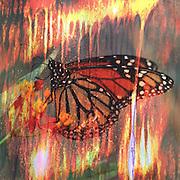 Monarch Open Wings I