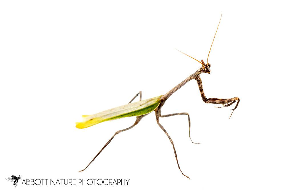 Texas Unicorn Mantis (Phyllovates chlorophaea) - female<br /> TEXAS: Hidalgo Co.<br /> Old Hidalgo Pumphouse; Hidalgo<br /> 8-Nov-2014<br /> J.C. Abbott &amp; K.K. Abbott