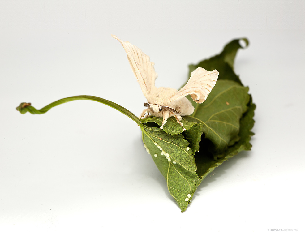 This silkmoth (Bombyx mori) sits on a mulberry leaf covered with eggs