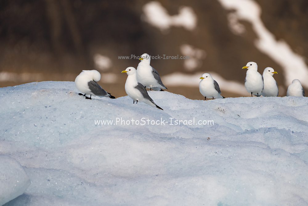 Black-legged Kittiwakes (Rissa tridactyla) in front of bright blue face of glacier. This small gull is found in the Arctic, North Atlantic and North Pacific oceans. It lives on the open sea much of the year, only coming ashore to breed. Photographed in July in Norway's Svalbard archipelago in the Arctic.