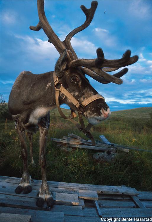 Southsami reindeer herding in Mid-Norway. Rein, bukk.