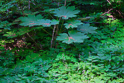 Forest plants in the Bull Run watershed near Mount Hood, Oregon.  This is the origin of Portland's drinking water, which flows by gravity to the Mount Tabor reservoirs before entering the City's water distribution network.