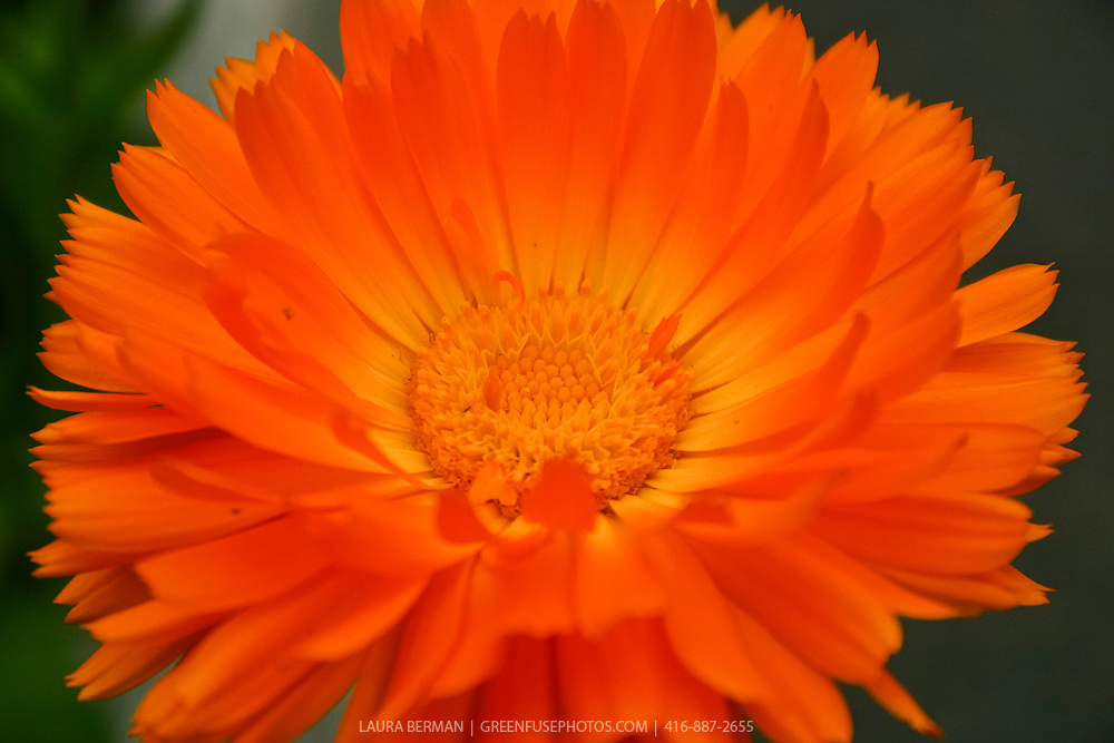 Calendula officinalis 'Alpha'