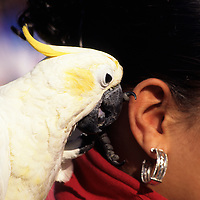 My Bird Told Me. Bird (White Parrot) talking into a woman's ear.